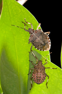 Brown marmorated stinkbug. Photo by U.S. Department of Agriculture. Shared under a Creative Commons 2.0 license.