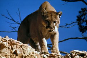Thanks to Pixabay for the photo. I didn't stick around long enough to take a picture of our cougar!